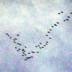 Kaum eines Blickes von oben würdigen uns die nun schon zurück kehrenden Kraniche, denn sie haben andere Ziele....... - Foto Luecke-Bongartz -